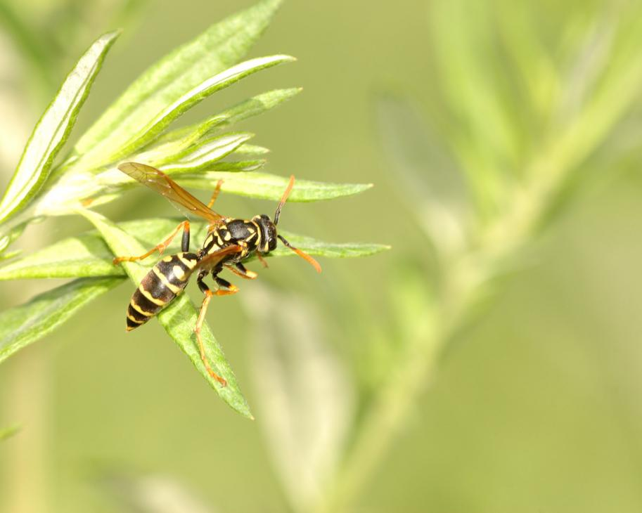 wasp stinging insect